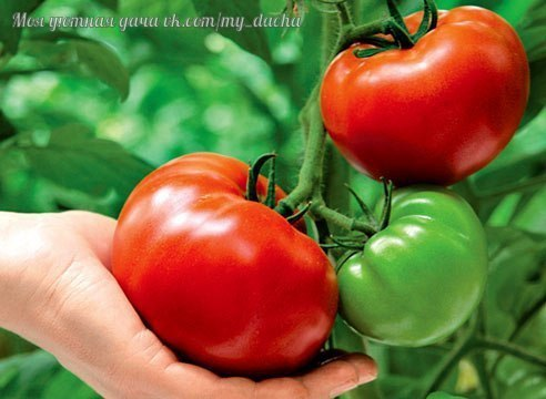 Чего не хватает томатам