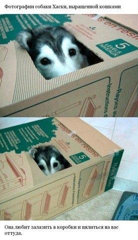 Хаски, выращенный среди котов