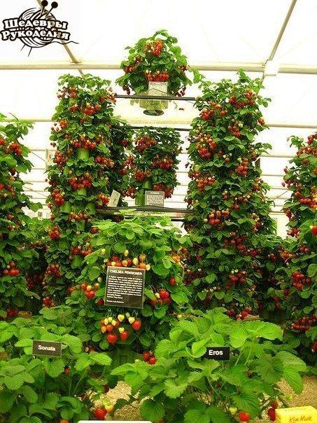 Вертикальный способ выращивания клубники… (6 фото) - картинка
