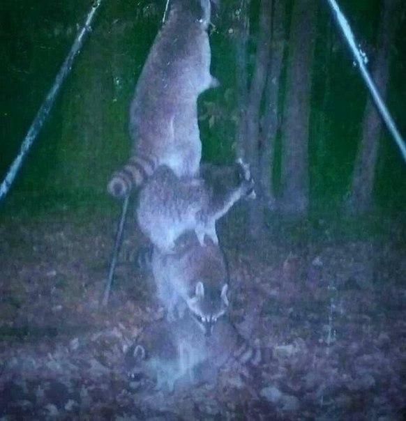 Подвесил приманку для оленей повыше, чтоб еноты не смогли достать...