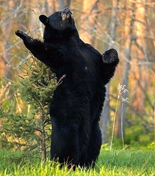 Медвежий досуг
