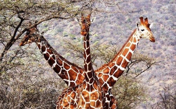 """""""Жираф-горыныч"""" – трое жирафов очень удачно расположились в национальном заповед..."""