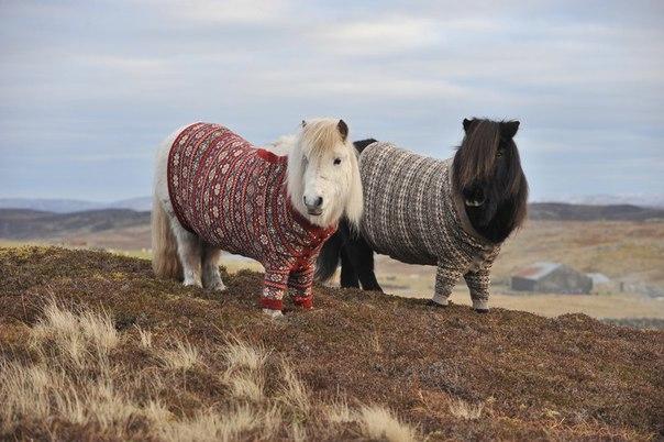 Пони в свитерочках, Шотландия