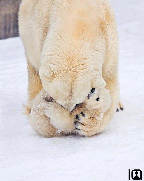 Как медведицы любят своих медвежат