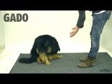 Реакция собак на фокус