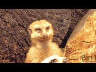 Усталый сурикат засыпает / Exhausted Meerkat trying not to fall asleep