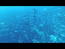 Freediving In A Cloud Of Trevallies - Ras Mohamed