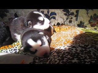 Сонные малыши хасята
