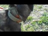 Той - щенок с травмой лапки от избиения живодером.