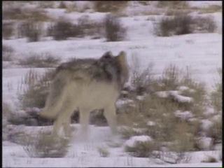 клип про волков (до слёз… - [[166166923]]