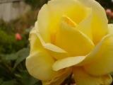 Kevin Kendle. Skylark. Yellow Roses