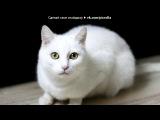 «С моей стены» под музыку Кошки и коты - мяуканье под музыку. Picrolla
