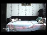 Собаке запрещено залезать на кровать. Но когда никого нет дома...