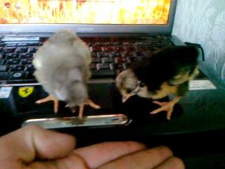 Цыплята Русские хохлатые осваивают ноутбук Toshiba