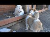 щенки туркменского алабая 2 мес