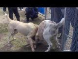 Собачьи бои Гектор(победа)-Беркут 3-й раунд