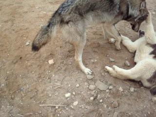 Волк, волкодав и мопс.