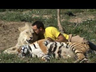 Дружба тигр лев и человек, друзья на век!