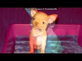 «Со стены = собаки ЧИХУАХУА =» под музыку Dj Bobo - Чихуахуа.. Picrolla