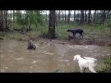 Коварный кенгуру топит собаку