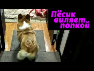 Песик виляет попкой Собачка Шакиры Booty Shake Корги