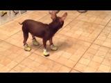 собака учится ходить в обуви