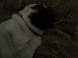 Мопс Рафаэль спит.