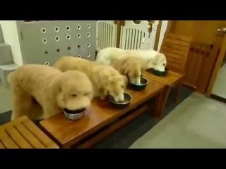 Собаки молятся перед едой. Смотреть до конца