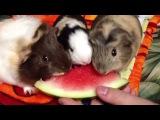 Guinea Pigs Eating Watermelon-морские свинки обожают кушать арбуз)))