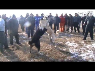Собачьи бои сао алабай vs кангал