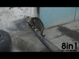 Кот вытаскивает трубу из стены - он очень хочет залезть в дырку в стене /A cat wants to go into a hole in the wall