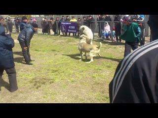 Собачьи бои Гектор-Беркут 2-й раунд