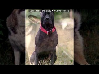 «собаки» под музыку Большой детский хор - Мой щенок похож немного на бульдога и на дога, на собаку-водолаза и на всех овчарок сразу)). Picrolla