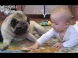 гифка - малыш vs мопс за печеньку