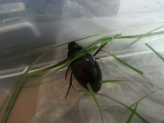 жук водолюб