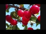 Аркадий Северный & Ko: поспели вишни в саду у дяди Вани