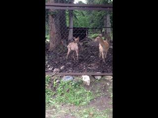 Арни и Пятнистые олени!) Домбай!)