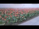 Легкое дыхание ветра в тюльпанах