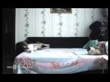 Собаке запрещают залезать на кровать. Запись скрытой камерой что он делает ,когда дома никого нет