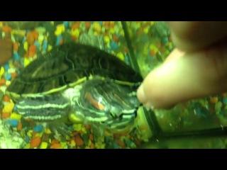 Красноухая черепаха ест с рук