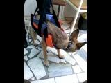 Даша - подопечная Фонда, щенок с компрессионным переломом позвоночника