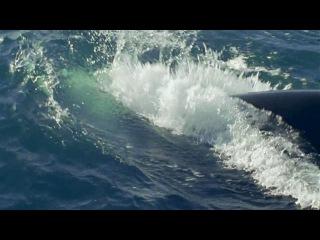 BBC: Морские гиганты. Серия 1. Жизнь гигантов.