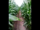 прогулка по кукурузному полю в поисках зеленного человечка