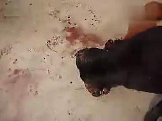 Собачьи бои бандог vs питбуль 3