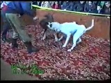 Собачьи бои американский бульдог Гезёр vs САО алабай