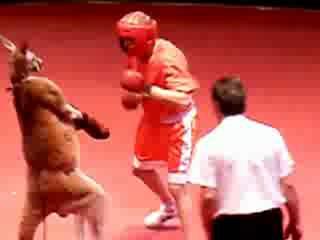 Кенгуру отпинывает боксёра!_low