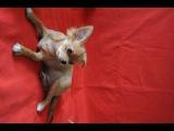 щенок чихуахуа на продажу