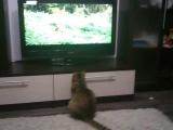 Ничего особенного, просто кот любит передачи про животных)))