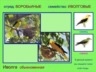 У птиц в основном поют самцы - так они привлекают самку и предупреждают других самцов