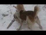 айбат - барсук туркменские волкодавы